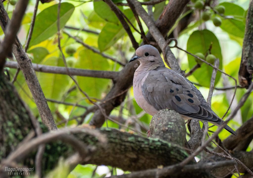 BRASIL | Aves de Piracicaba  2020-013