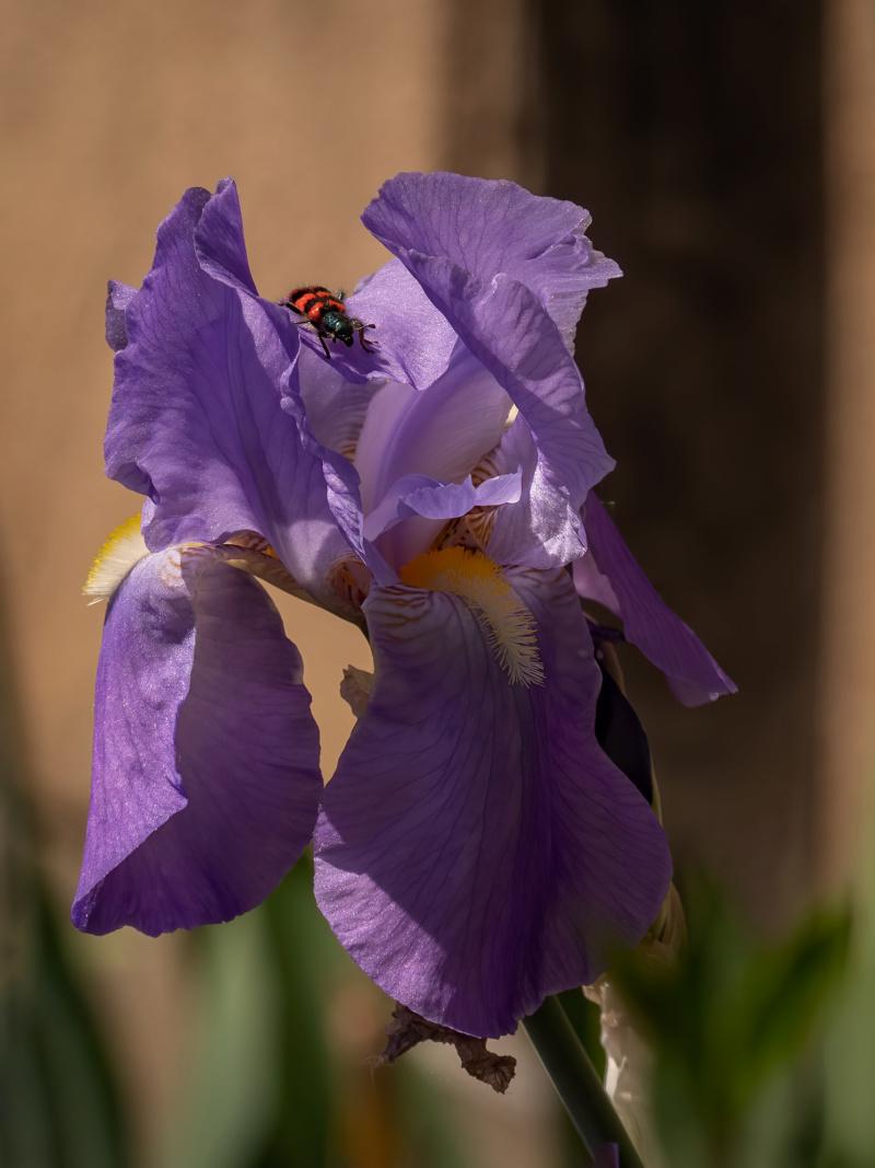 Exploration dans la vallée des iris... + recadrages... P1520910