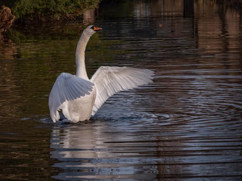 Swan rising... (- le colvert) P1650610