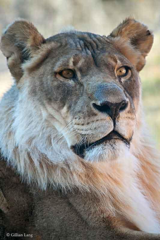 ¿Las leonas pueden tener melena? [Curiosidades] Nuevo-10