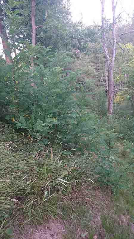 Consiglio aree alberi/rovi/erba alta - Stihl fr235 Dsc_0110