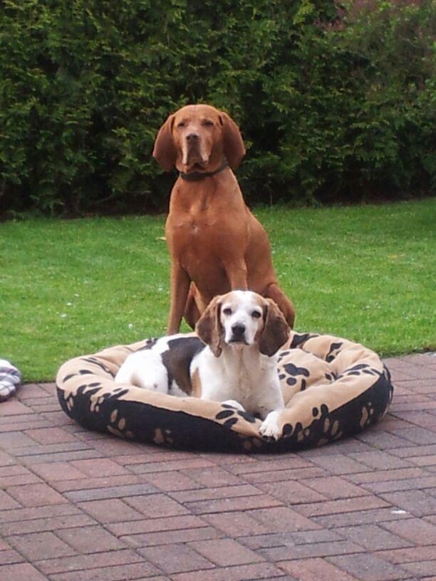 PIGNOUF -  beagle 10 ans - Spa de Poitiers (86) Img-2011