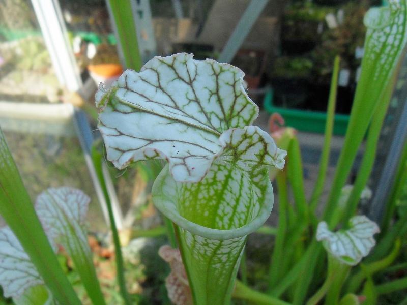 Quelques leucophylla Sdc10620