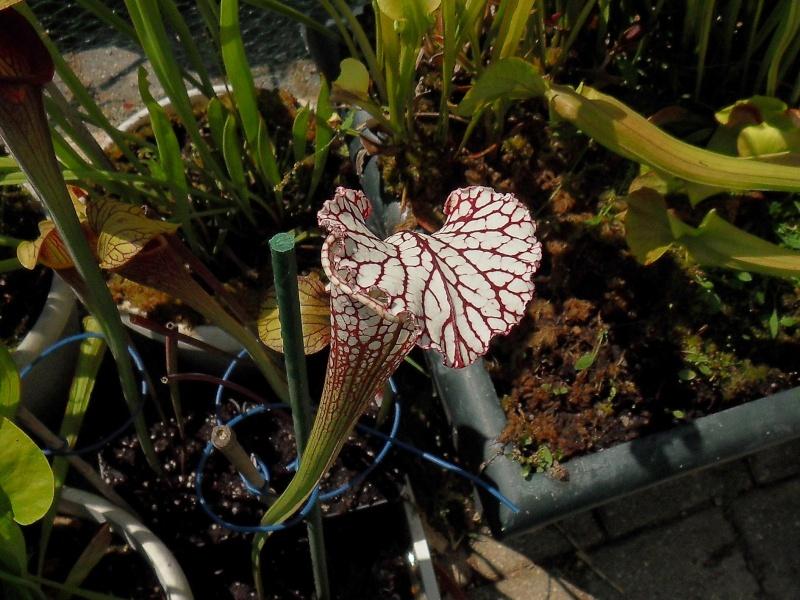 Quelques leucophylla Sdc10629