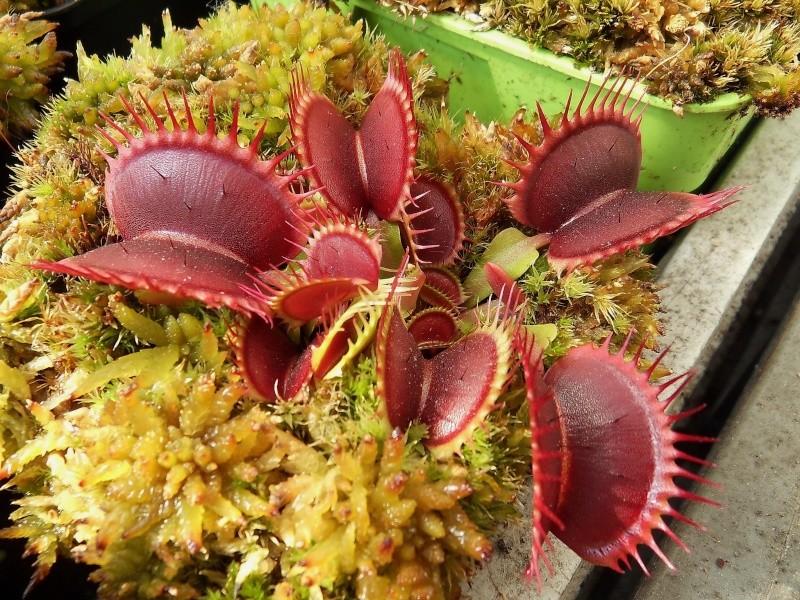 Caractéristiques Dionaea red purple Sdc11425