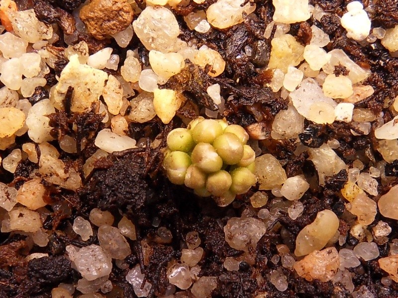 Drosera erytrorhiza ssp collina  Sdc12212