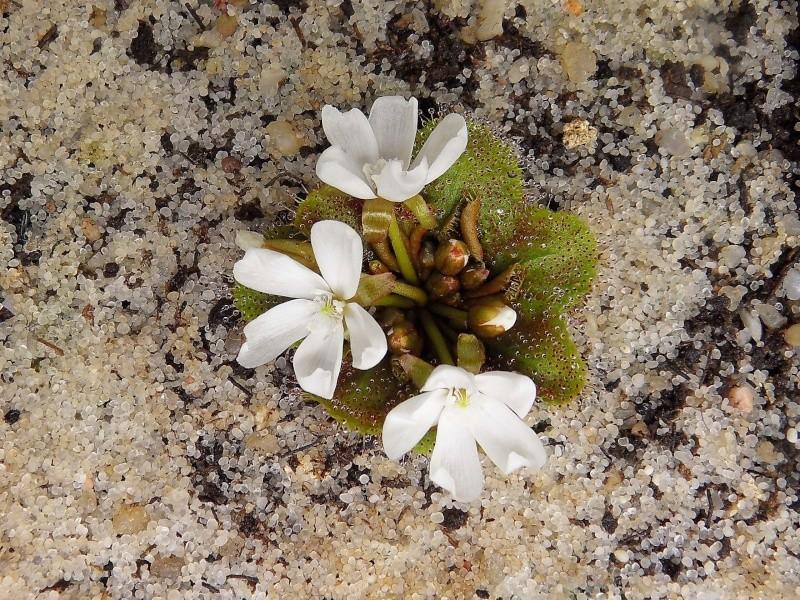 Drosera bulbosa ssp bulbosa Sdc12710