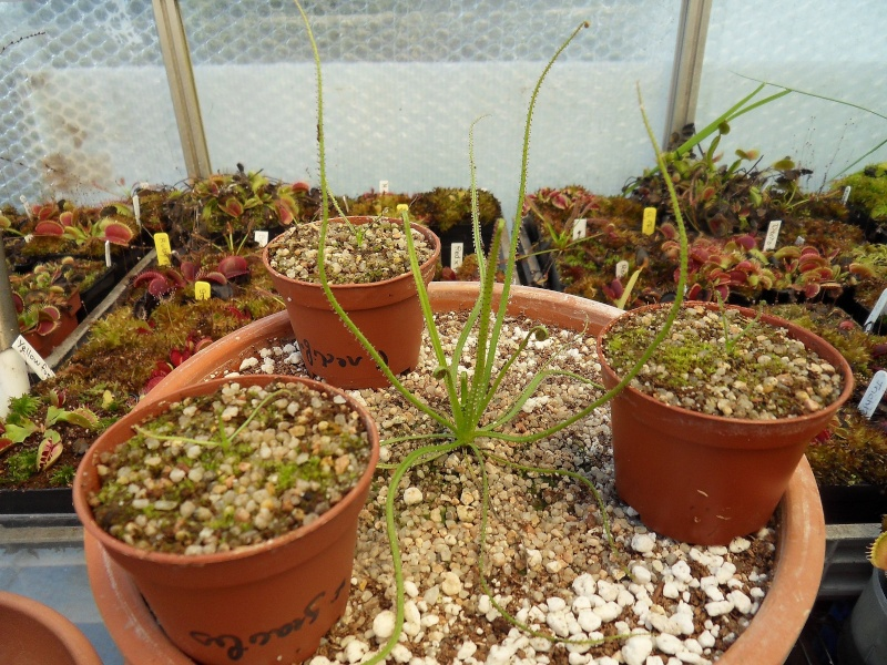 collection de drosophyllum Sdc12810