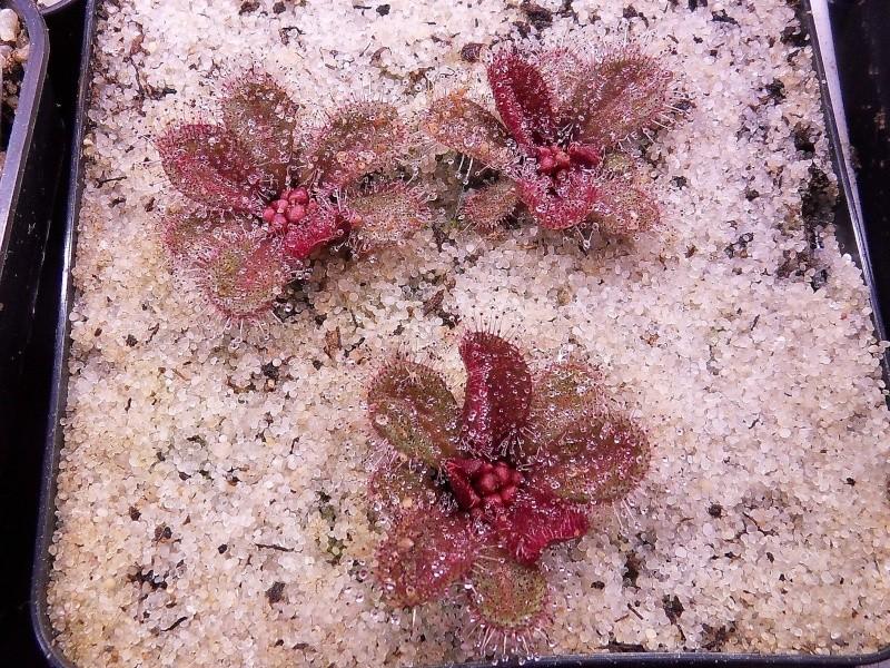Drosera browniana Sdc12813