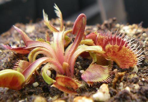 "Dionaea ""Spotty"" ??  Spotty11"