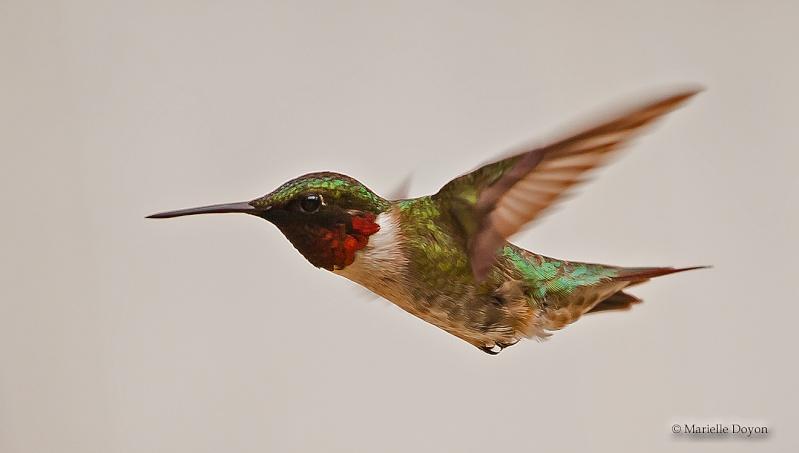 Colibri...lifer Img_0813