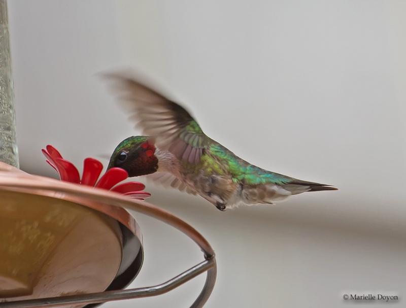 Colibri...lifer Img_0814
