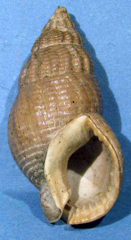 Nassarius turritus (Borson, 1820) Img_1618