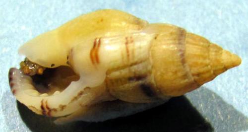 Nassarius cuvieri Img_1623