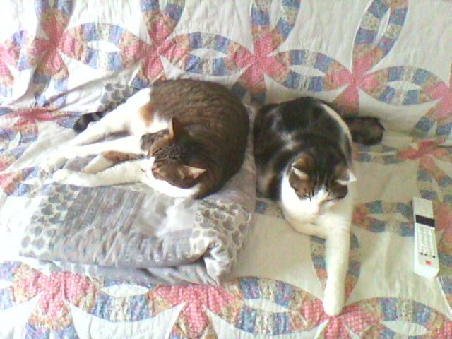 Tigrou et Mysti adopét à l'école de chat libre de Toulouse Img10512
