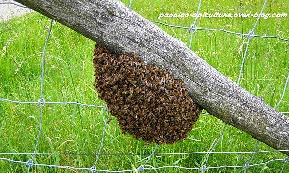 Essaim d'abeilles à proximité de ma terrasse Captur10
