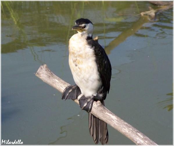 oiseau -Ajonc - 7 octobre trouvé par Martine - Page 2 Cormor10