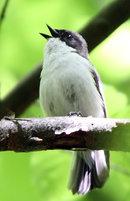 oiseau -Ajonc - 7 octobre trouvé par Martine - Page 2 Gobemo10