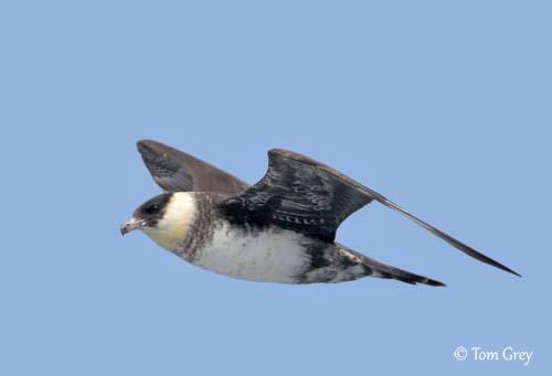 oiseau -Ajonc - 7 octobre trouvé par Martine - Page 2 Labbe-10
