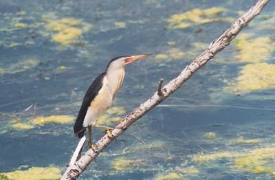 oiseau -Ajonc - 7 octobre trouvé par Martine - Page 2 Le_blo10