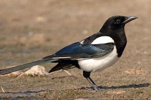 oiseau -Ajonc - 7 octobre trouvé par Martine - Page 2 Pie10
