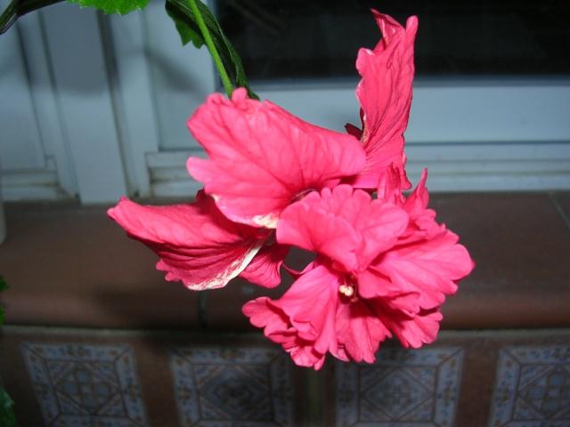 Hibiscus 'El Capitolio' et Hibiscus sinensis Capito11