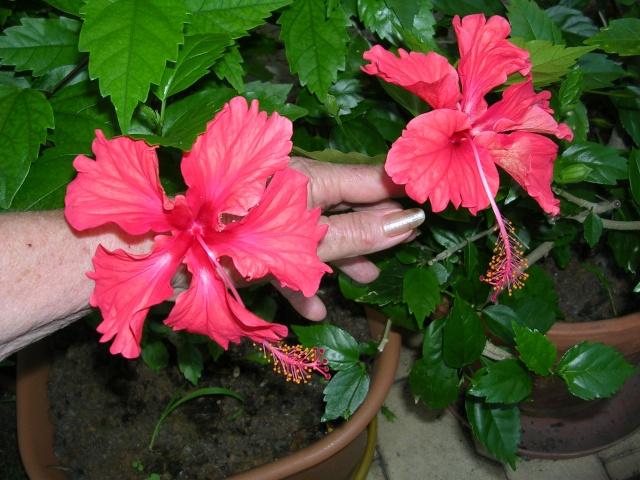 Hibiscus 'El Capitolio' et Hibiscus sinensis Dscn4011