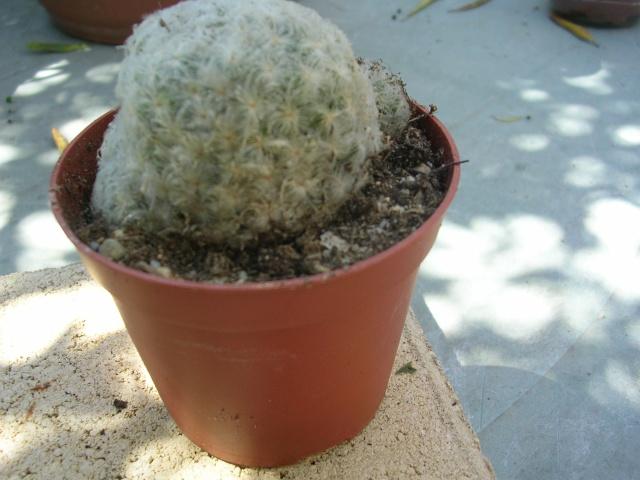 Mammillaria polythele 'Inermis', Euphorbia lactea cristata 'Grey Ghost', M. plumosa [identifications] Dscn4719