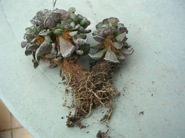 Mammillaria sp., Adromischus  cooperi, Gymnocalycium saglionis [identification non terminée] Dscn4731