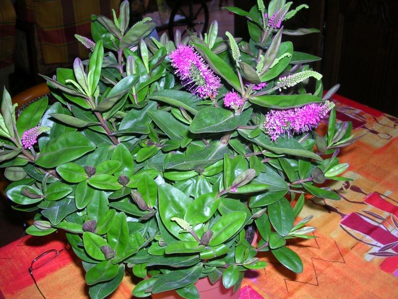 Hebe speciosa 'La Séduisante' (= Veronica speciosa) - véronique arbustive Dscn5515