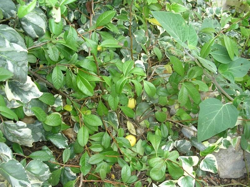 Chaenomeles japonica - cognassier du Japon et hybrides  Dscn5617