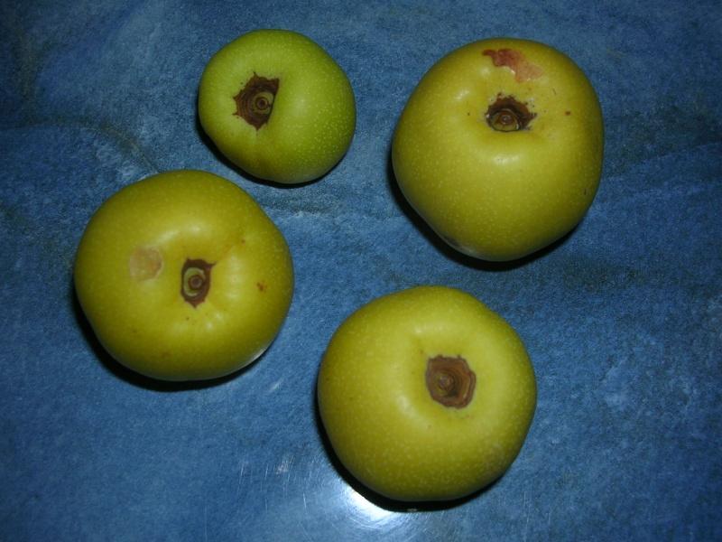 Chaenomeles japonica - cognassier du Japon et hybrides  Dscn5618