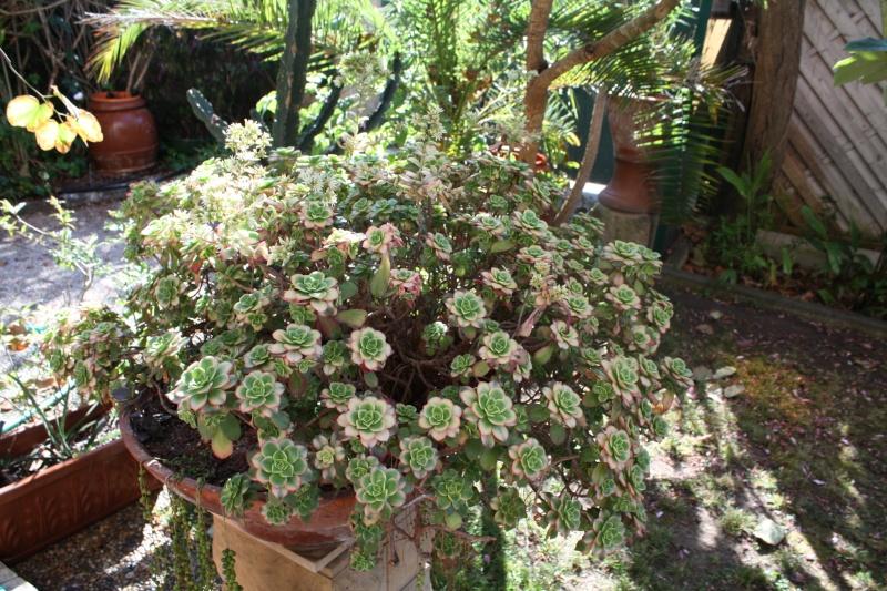 Aeonium ' Kiwi ' en fleurs Aeoniu12