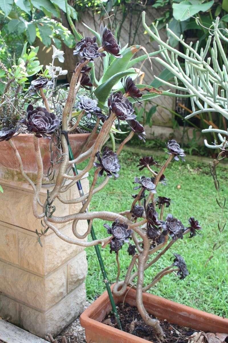 Aeonium arboreum atropurpureum Aeoniu13