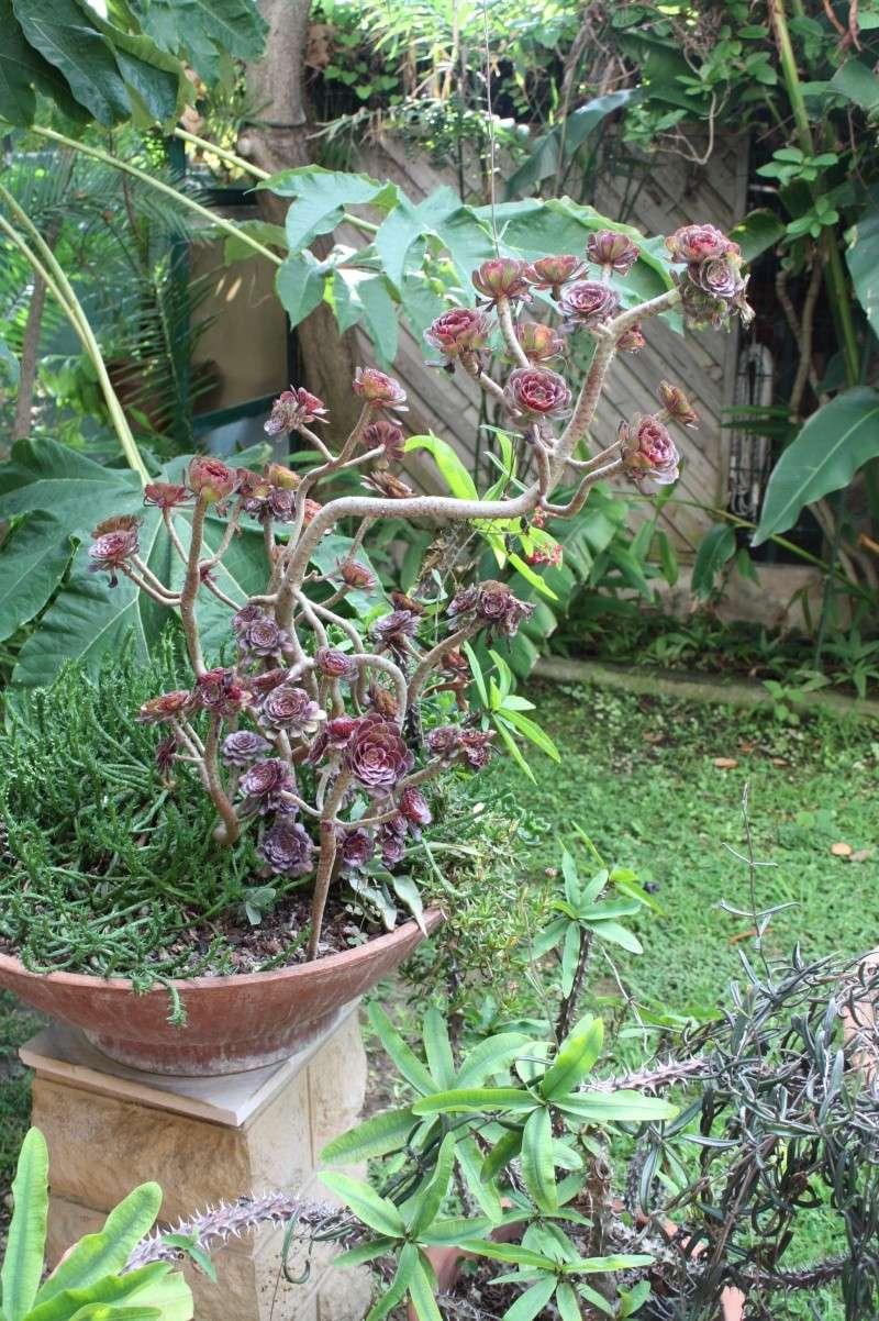 Aeonium arboreum atropurpureum Aeoniu14