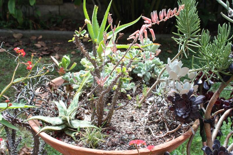 Aloe somalensis en pleine floraison bis Aloe_s10
