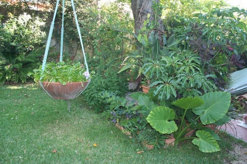 Eichornia crassipes , la jacinthe d'eau, la première de la saison Bassin11