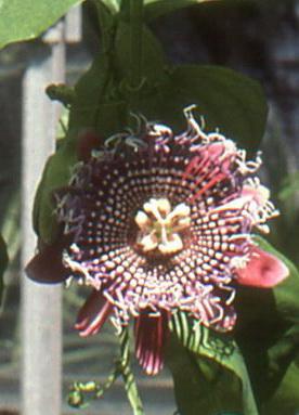 Passiflora alata Copie_10