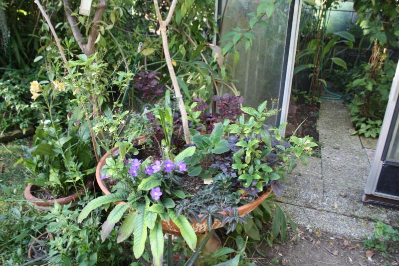 Streptocarpus ' Constant Nymph ' en fleurs Coupe_10