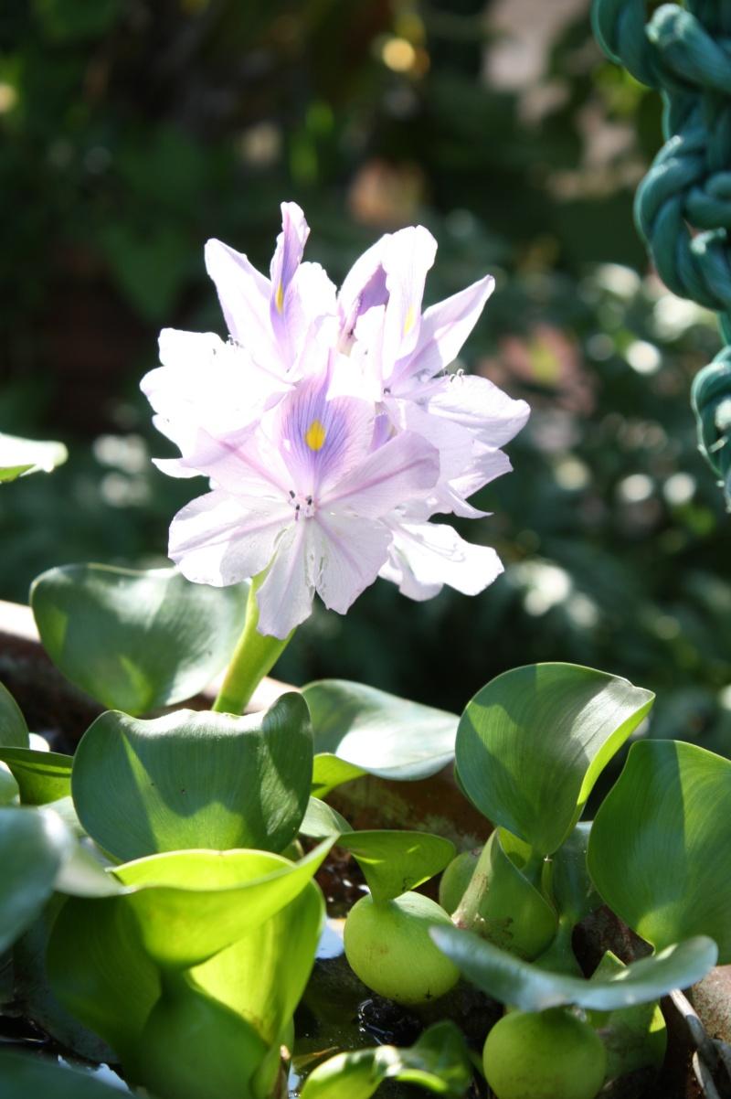 Eichornia crassipes , la jacinthe d'eau, la première de la saison Eichor10