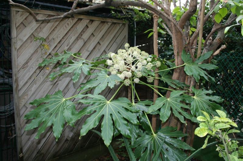 Trevesia palmata : floraison curieuse Fatsia10
