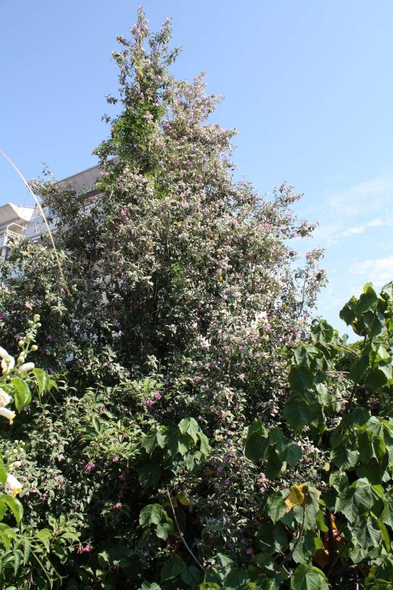 Lagunaria patersonii, un bel arbre ornemenytal de zone 9 Laguna10