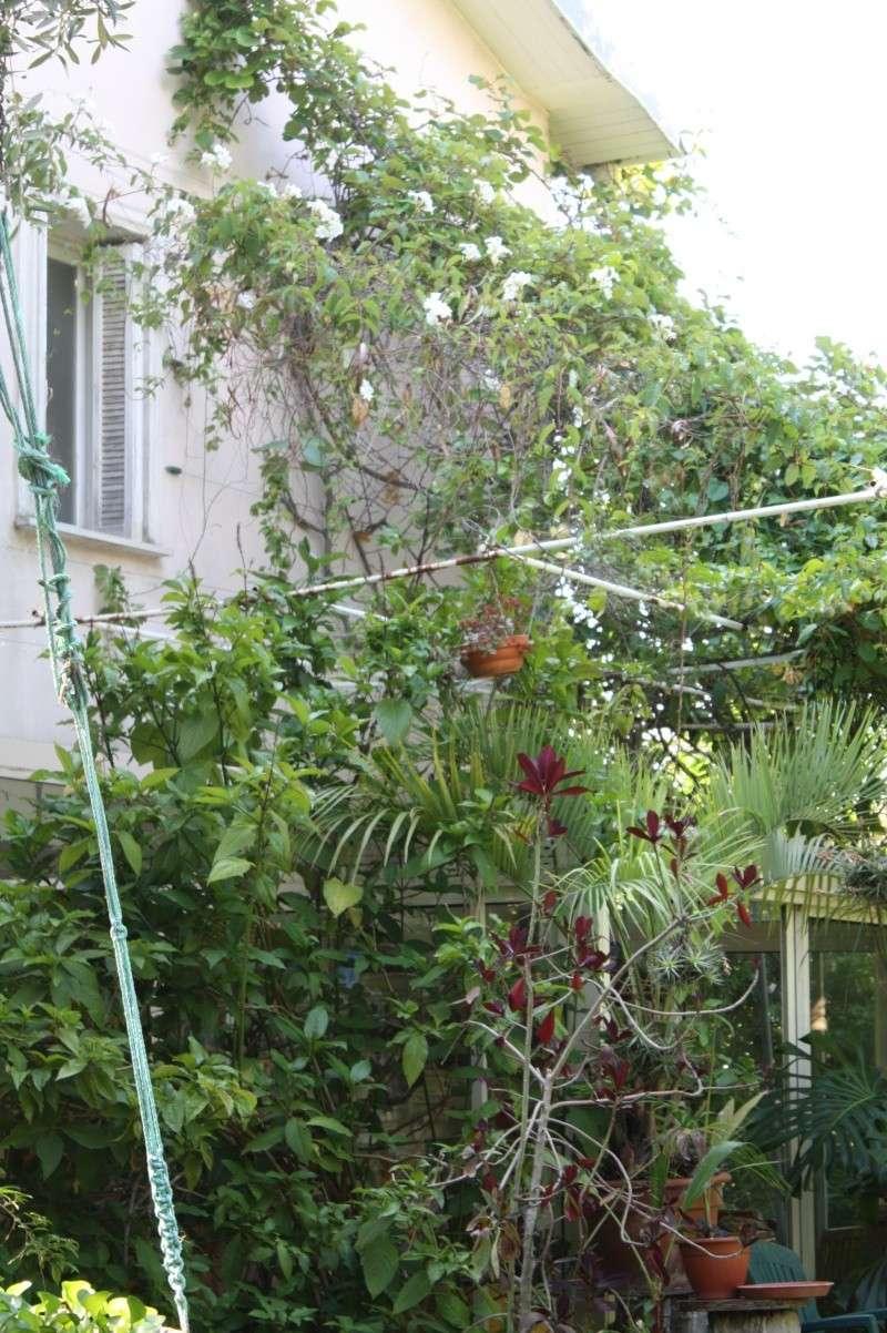 Une liane à floraison blanche! Mandev11
