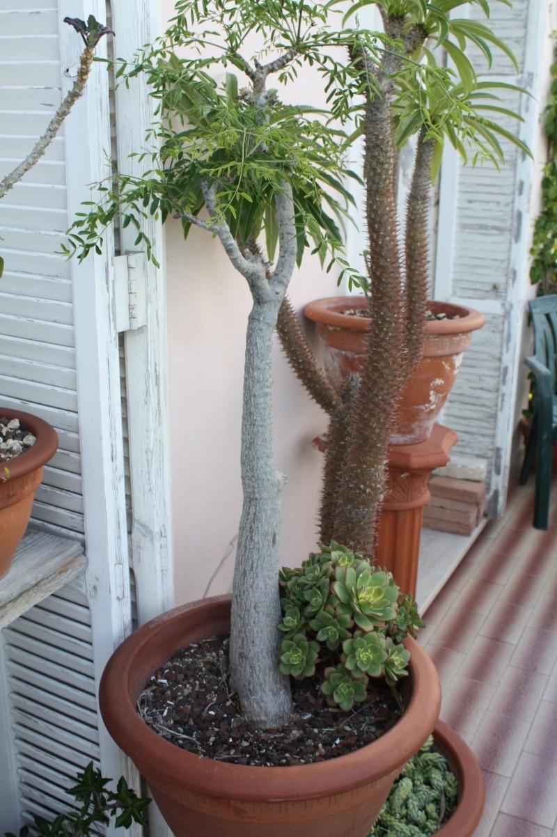 Quelques pachyformes frileuses de mon balcon Moring10