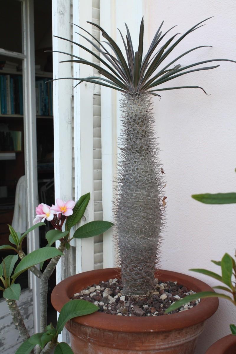 Quelques pachyformes frileuses de mon balcon Pachyp15