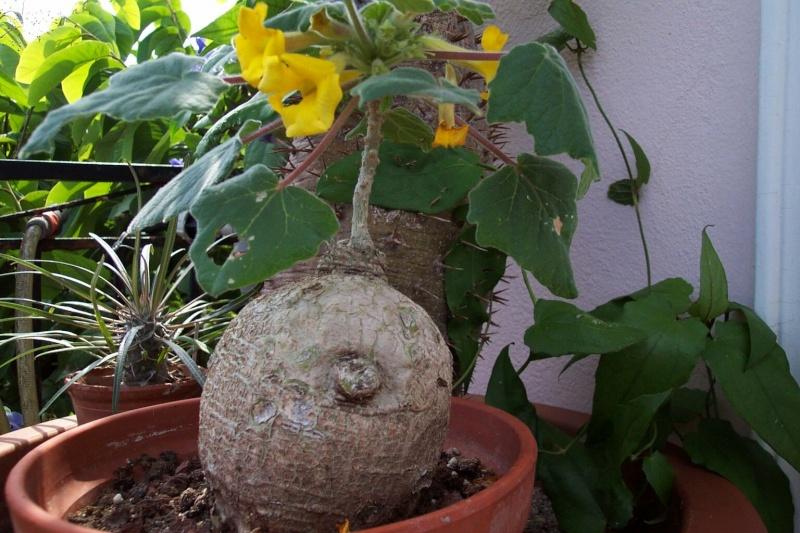 Uncarina roeosliana : semis spontané qui fleurit Pedali10