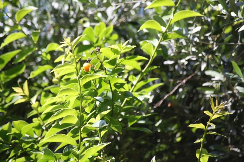 Groseille des Barbades = fruit du Pereskia aculeata Peresk10