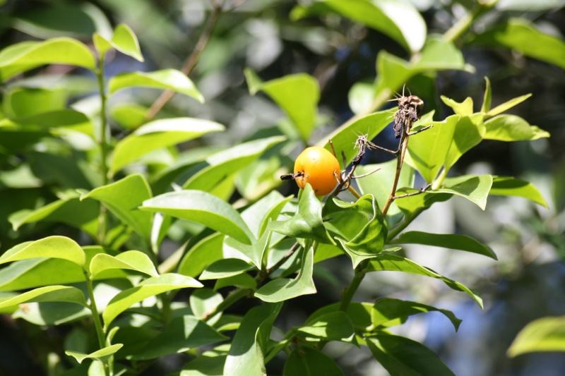 Groseille des Barbades = fruit du Pereskia aculeata Peresk11