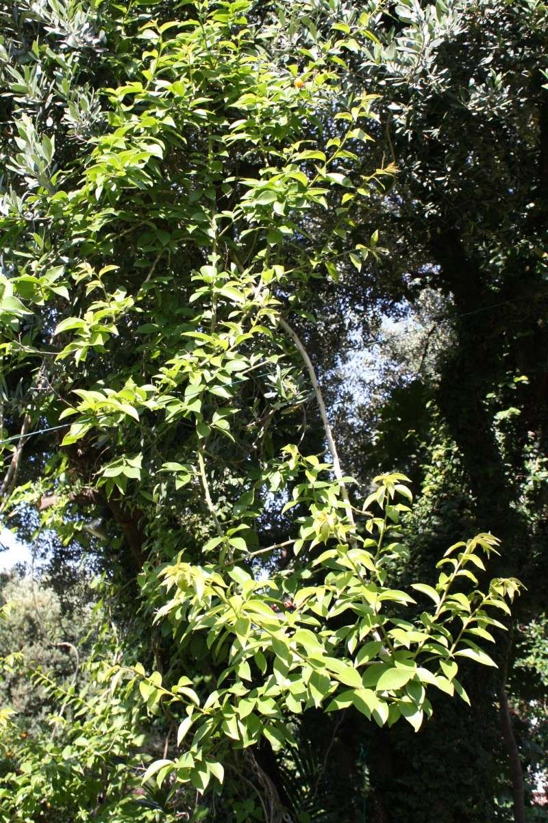 Groseille des Barbades = fruit du Pereskia aculeata Peresk12