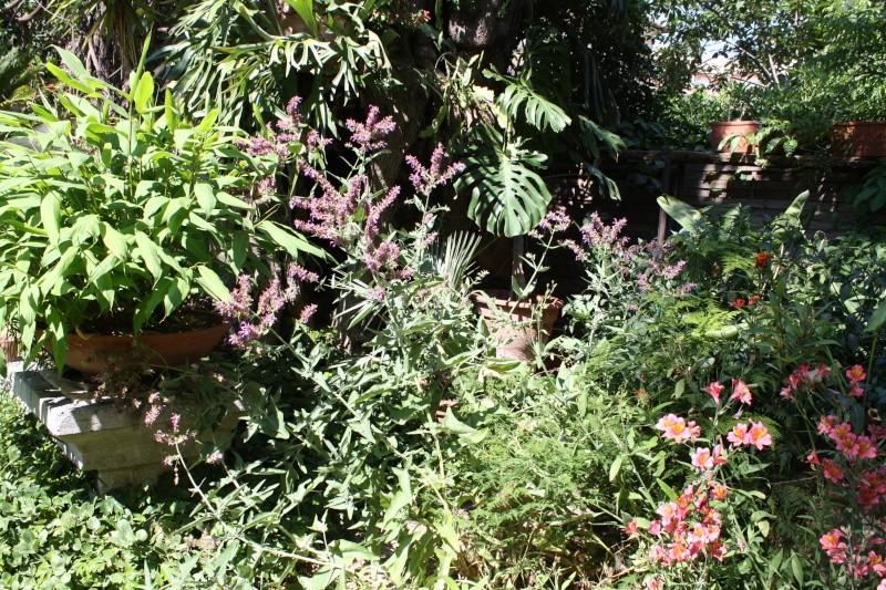 Salvia canariensis spontanée Salvia10